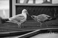 Saint Malo, #bnw Seagulls. August 2018